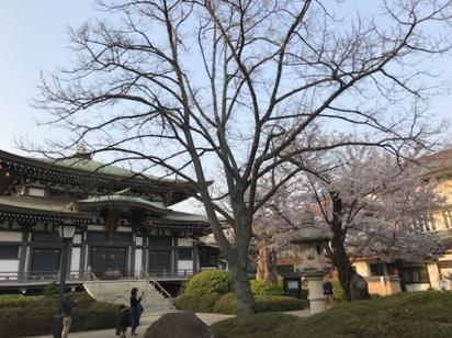 阿弥陀堂と満開の桜